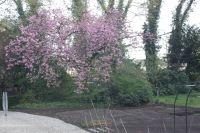 Een bloeiende (sier)kersenboom en een bed met aardbeidenplantjes