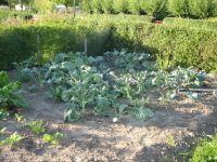 Bloemkool, brocolli en groene kool
