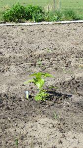 Paprika plantje