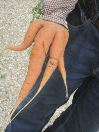 Hand(ige) wortel