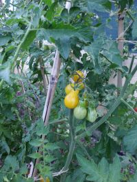Gele peervorm tomaatjes